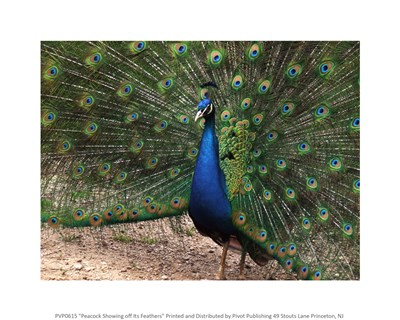 Peacock Showing off Its Feathers Poster by Unknown for $25.00 CAD