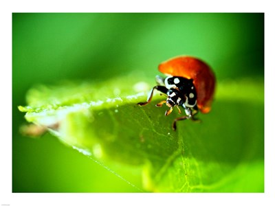 Anderson Mancini Ladybug Poster by Unknown for $67.50 CAD