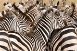Burchell's Zebras, Tarangire National Park, Tanzania