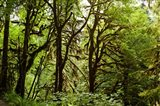 Trees in a Forest, Quinault Rainforest, Olympic National Park, Olympic Peninsula, Washington State