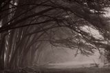Cypress trees at misty morning, Fort Bragg, California, USA