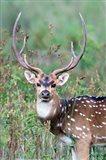 Spotted Deer,Kanha National Park, Madhya Pradesh, India