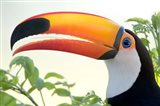 Toco toucan (Ramphastos toco), Pantanal Wetlands, Brazil