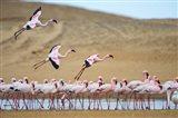 Greater Flamingos, Namibia