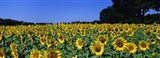 Sunflowers In A Field, Provence, France