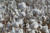 Cotton Plants, Wellington, Texas