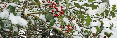 Holly Berries Covered in Snow Poster by Panoramic Images for $90.00 CAD