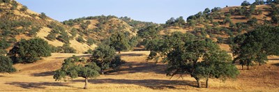 Oak trees on hill, Stanislaus County, California, USA Poster by Panoramic Images for $86.25 CAD