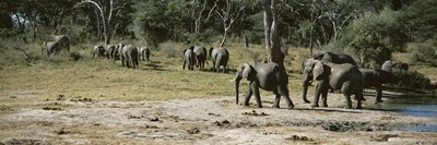 African elephants (Loxodonta africana) in a forest, Hwange National Park, Matabeleland North, Zimbabwe Poster by Panoramic Images for $71.25 CAD