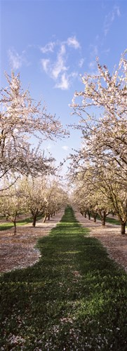 Almond trees in an orchard, Central Valley, California, USA Poster by Panoramic Images for $86.25 CAD