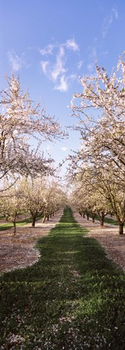 Almond trees in an orchard, Central Valley, California, USA Poster by Panoramic Images for $71.25 CAD