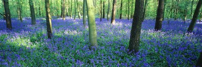 Bluebells in a forest, Charfield, Gloucestershire, England Poster by Panoramic Images for $71.25 CAD