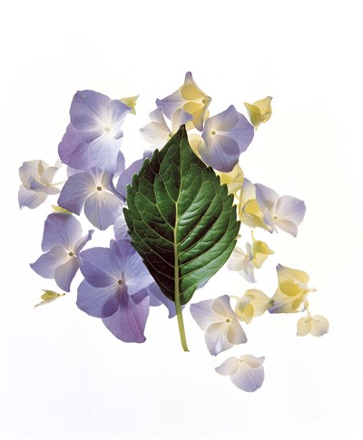 Close up of green leaf and lavender flower petals scattered on white Poster by Panoramic Images for $61.25 CAD