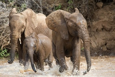 African elephants (Loxodonta africana) playing with water, Samburu National Park, Rift Valley Province, Kenya Poster by Panoramic Images for $56.25 CAD