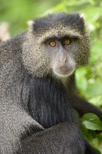 Close-up of a Blue monkey (Cercopithecus mitis), Lake Manyara National Park, Tanzania Poster by Panoramic Images for $86.25 CAD