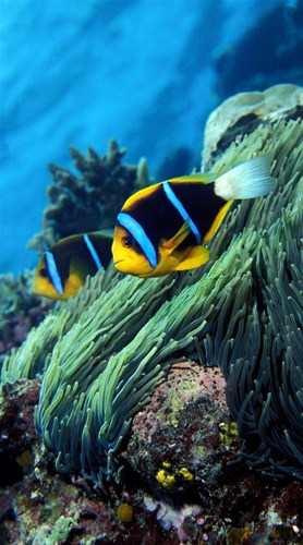 Allard's anemonefish (Amphiprion allardi) in the ocean Poster by Panoramic Images for $86.25 CAD