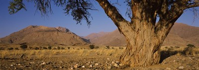 Camelthorn tree (Acacia erioloba) with mountains in the background, Brandberg Mountains, Damaraland, Namib Desert, Namibia Poster by Panoramic Images for $86.25 CAD