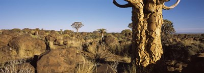 Quiver tree (Aloe dichotoma) growing in a desert, Namibia Poster by Panoramic Images for $86.25 CAD