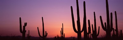 Purple Sky Behind Cacti in the Saguaro National Park, Arizona Poster by Panoramic Images for $71.25 CAD