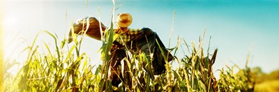 Scarecrow in a corn field, Queens County Farm, Queens, New York City, New York State, USA Poster by Panoramic Images for $71.25 CAD