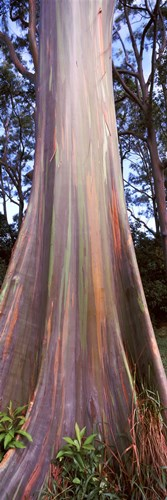 Rainbow eucalyptus (Eucalyptus deglupta) tree, Hana Highway, Maui, Hawaii, USA Poster by Panoramic Images for $71.25 CAD
