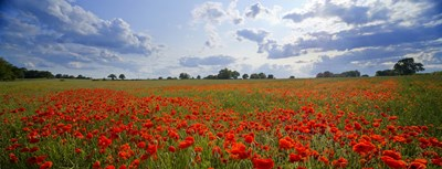 Close Up of Red Poppies in a field, Norfolk, England Poster by Panoramic Images for $86.25 CAD