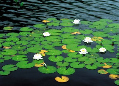 Lily pads with water lily Poster by Panoramic Images for $146.25 CAD