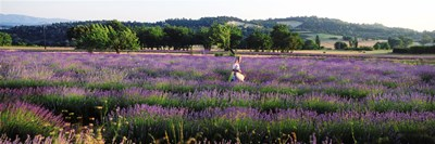 Woman walking with basket through a field of lavender in Provence, France Poster by Panoramic Images for $86.25 CAD