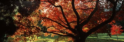 Acer tree in a garden, Thorp Perrow Arboretum, Bedale, North Yorkshire, England Poster by Panoramic Images for $71.25 CAD