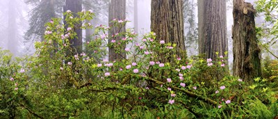 Rhododendron flowers in a forest, Del Norte Coast State Park, Redwood National Park, Humboldt County, California, USA Poster by Panoramic Images for $71.25 CAD