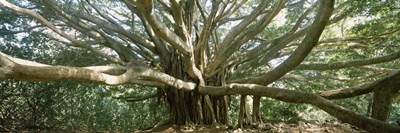 Banyan tree stretches in all directions, Maui, Hawaii, USA Poster by Panoramic Images for $86.25 CAD