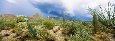 Saguaro National Park, Tucson, Arizona Poster by Panoramic Images for $86.25 CAD