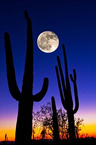 Moon over Saguaro cactus (Carnegiea gigantea), Tucson, Pima County, Arizona, USA Poster by Panoramic Images for $141.25 CAD