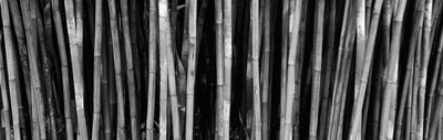 Bamboo trees in a botanical garden, Kanapaha Botanical Gardens, Gainesville, Alachua County, Florida (black and white) Poster by Panoramic Images for $71.25 CAD