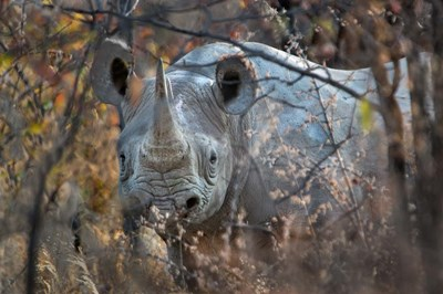 Black Rhinoceros, Etosha National Park, Namibia Poster by Panoramic Images for $61.25 CAD