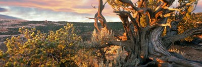 Sunrise Sets a Juniper Aglow, Navajo National Monument, Arizona Poster by Panoramic Images for $68.75 CAD