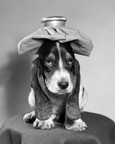 Bassett Hound Dog With Ice Pack On Head Poster by Vintage PI for $56.25 CAD