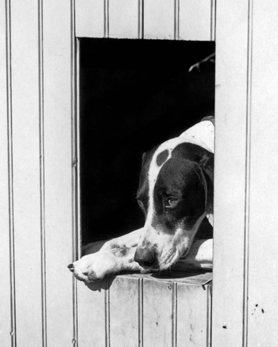 1930s Hunting Dog Pointer Looking Out Of His Doghouse Poster by Vintage PI for $66.25 CAD