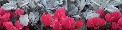 Close-up of Pink Cyclamen and Silver Dust Leaves Poster by Panoramic Images for $66.25 CAD