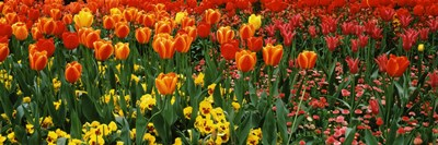 Tulips in a field, St. James's Park, City Of Westminster, London, England Poster by Panoramic Images for $86.25 CAD