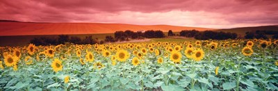 Sunflowers, Corbada, Spain Poster by Panoramic Images for $90.00 CAD