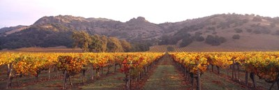 Stag's Leap Wine Cellars, Napa Valley, CA Poster by Panoramic Images for $90.00 CAD