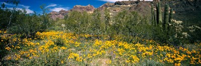 Flowers in a field, Organ Pipe Cactus National Monument, Arizona, USA Poster by Panoramic Images for $86.25 CAD