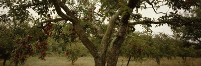 Apple trees in an orchard, Sebastopol, Sonoma County, California, USA Poster by Panoramic Images for $86.25 CAD