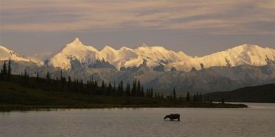 Moose standing on a frozen lake, Wonder Lake, Denali National Park, Alaska, USA Poster by Panoramic Images for $86.25 CAD