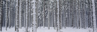 Snow covered trees in a forest, Austria Poster by Panoramic Images for $86.25 CAD