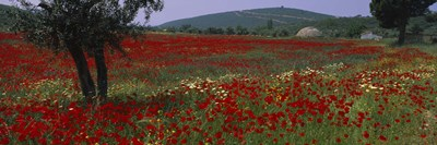 Red poppies in a field, Turkey Poster by Panoramic Images for $86.25 CAD