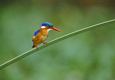 Malachite Kingfisher Tanzania Africa Poster by Panoramic Images for $58.75 CAD