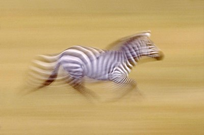 Zebra in Motion Kenya Africa Poster by Panoramic Images for $56.25 CAD