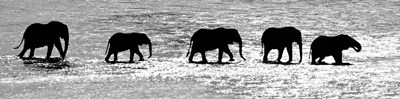 Herd of African Elephants Crossing the Uaso Nyiro River, Kenya (black & white) Poster by Panoramic Images for $71.25 CAD